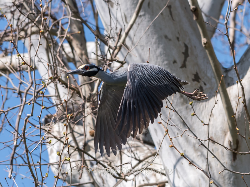 Herons Culler Lake 28 Apr 2018-9724