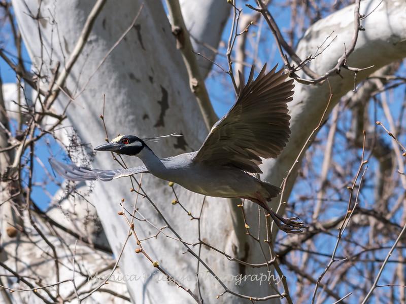 Herons Culler Lake 28 Apr 2018-9723