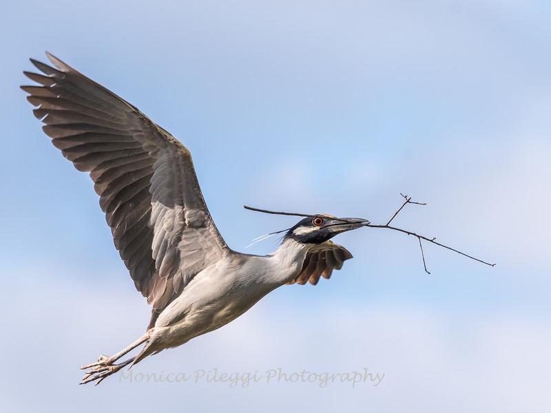 Herons Culler Lake 29 Apr 2018-9993