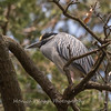 Yellow-Crowned Night Herons 23 Apr 2018-9156