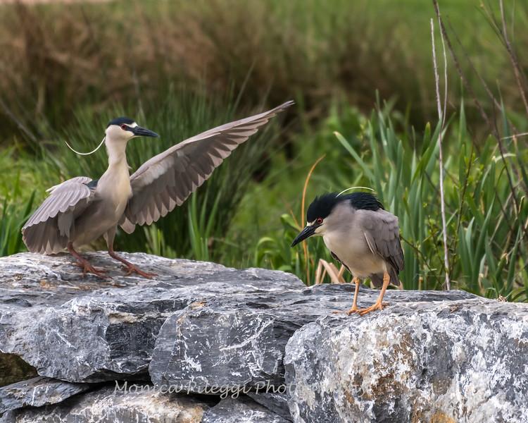 Herons Culler Lake 29 Apr 2018-0060