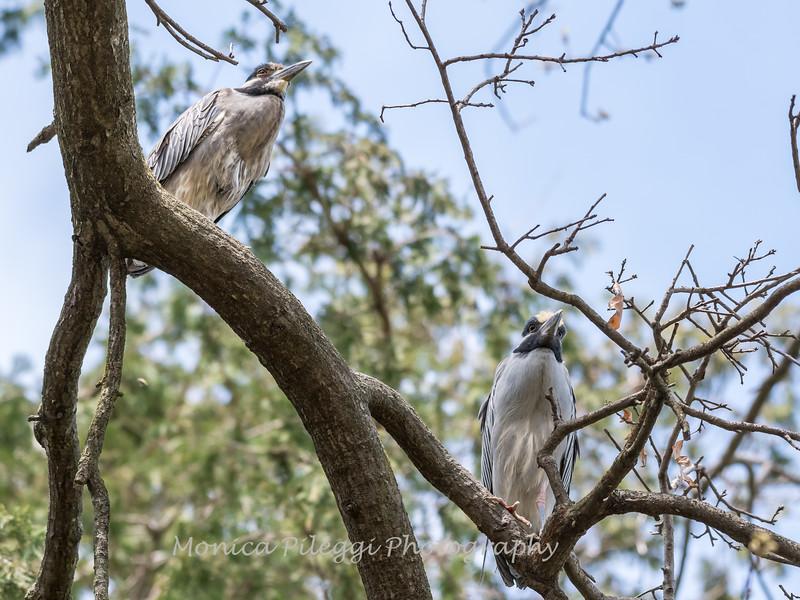 Yellow-Crowned Night Herons 23 Apr 2018-9194