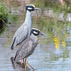 Yellow-Crowned Night Herons 23 Apr 2018-8841
