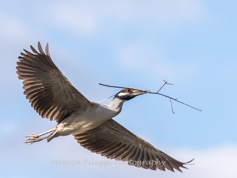 Herons Culler Lake 29 Apr 2018-9994