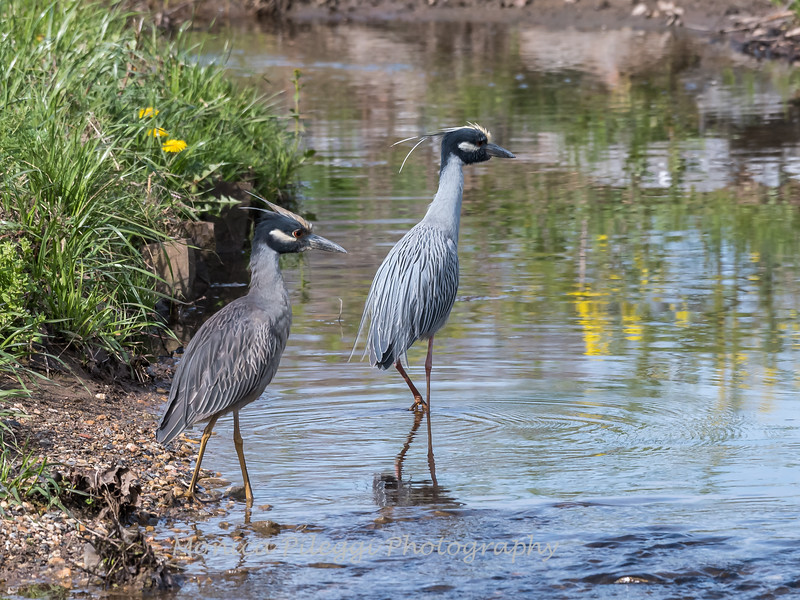 Yellow-Crowned Night Herons 23 Apr 2018-8820