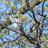 Herons Culler Lake 28 Apr 2018-9617