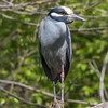 Yellow-Crowned Night Herons 23 Apr 2018-8891