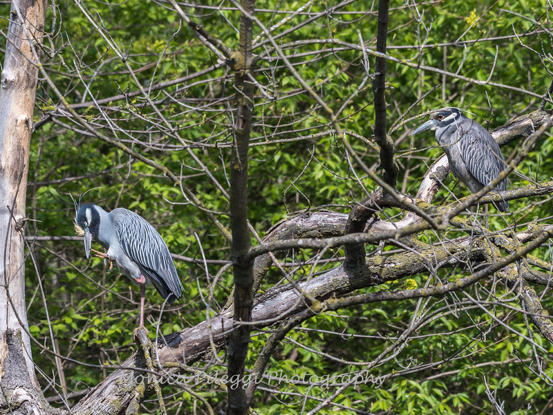 Yellow-Crowned Night Herons 23 Apr 2018-8921