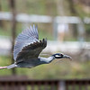Herons Culler Lake 28 Apr 2018-9789