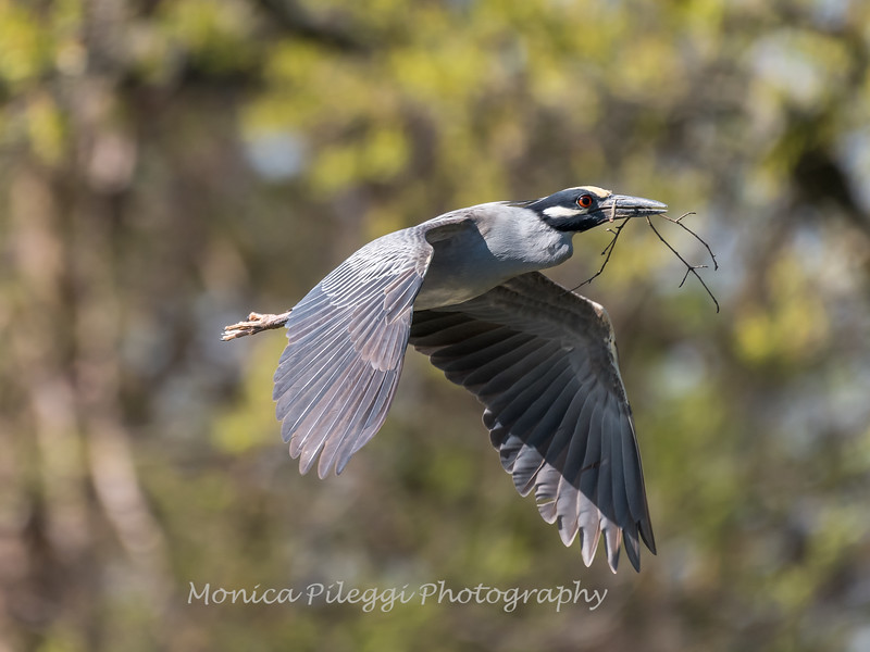 Herons Culler Lake 28 Apr 2018-9603