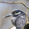 Yellow-Crowned Night Herons 23 Apr 2018-8962