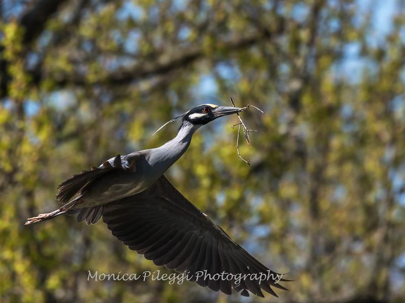 Herons Culler Lake 28 Apr 2018-9639