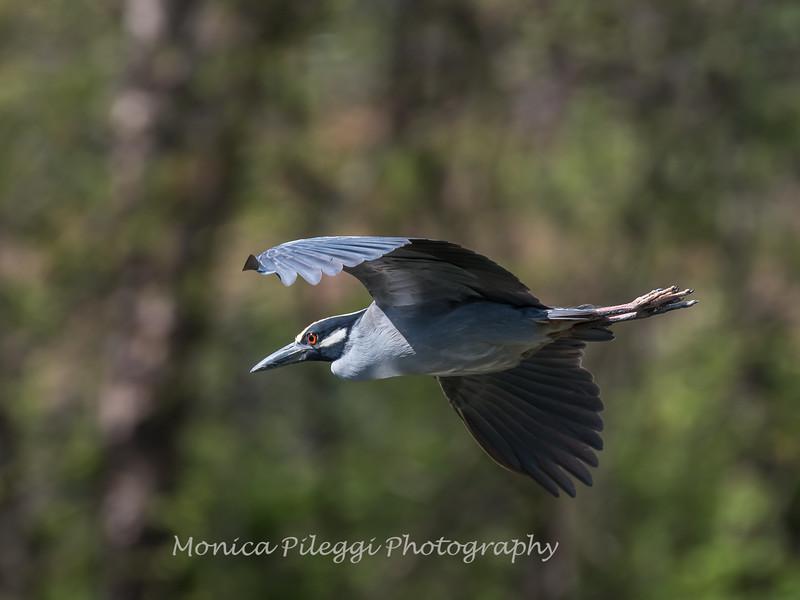 Herons Culler Lake 28 Apr 2018-9827