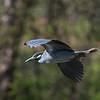 Herons Culler Lake 28 Apr 2018-9827