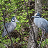 Yellow-Crowned Night Herons 23 Apr 2018-8730