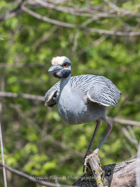 Yellow-Crowned Night Herons 23 Apr 2018-8993