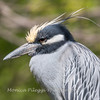 Yellow-Crowned Night Herons 23 Apr 2018-8960