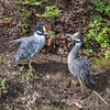 Yellow-Crowned Night Herons 23 Apr 2018-8694