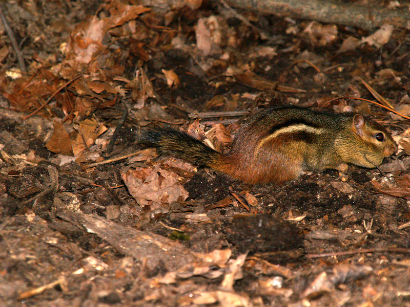 This chipmunk has a peanut the size of his head stuffed in his cheek!  His max load was 3, one in each  cheek and another caught in his teeth and then he'd run and hide them.   He'd come right up to you and take them out of your hand.