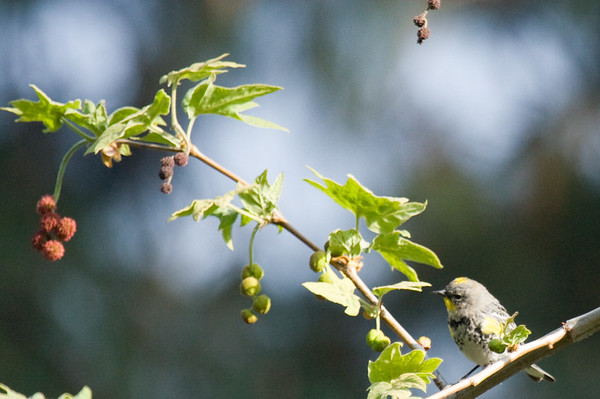 Birds - Yellow Rumped Warbler