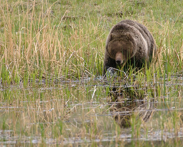 Although the camera makes it look lighter, it was late dusk when I came upon this Grizzly, who was coming down to a pond for a little soak and drink.