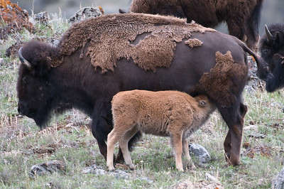 This Bison calf is having a little afternoon snack.
