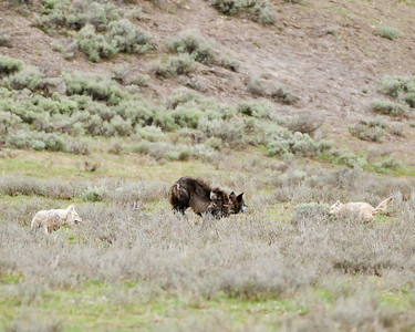 I came upon what looked like Wolves and Coyotes playing together.