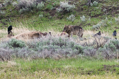 In a separate location, a Wolf comes down to snack on a Bison carcass.