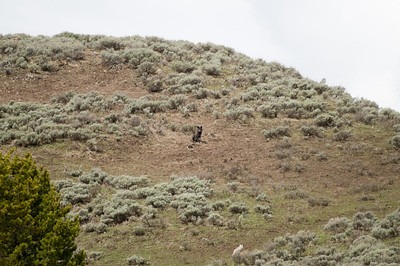 "Then, the black Wolf would pull back into a ""lookout"" position.  If you click on this image to expand it, you can just see the ""missing"" Wolf in the extreme upper left corner.  The Wolves had found the Coyotes' den, and were busy digging it out.  The Coyotes, such as the one bottom center, were trying desperately to get the Wolves to chase them, away from the den."