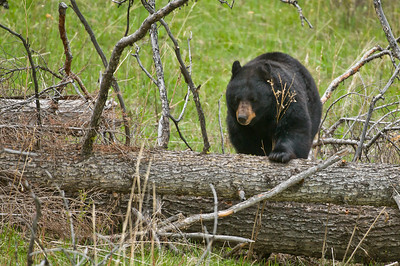 This big Black Bear was out for a leisurely stroll, munching on grass and dandelions.