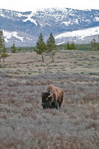 This Bison is standing in front of typical Yellowstone scenery: Sage, pines and snow-covered mountains.