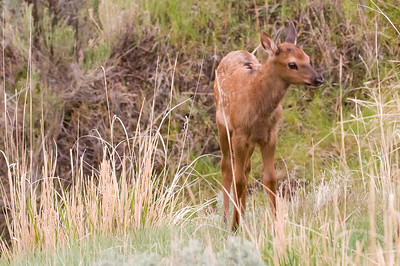"The baby Elk is seeing how far he can get from Mom, before he ""chickens out."""