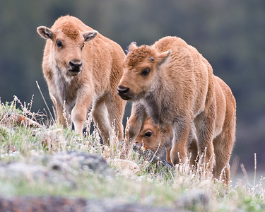 Some Bison calves taking comfort in roaming around together.