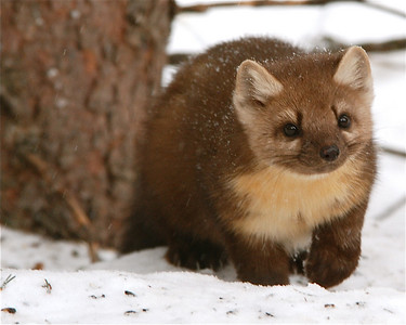 Pine Marten Silver Gate, Montana (just outside Yellowstone National Park)