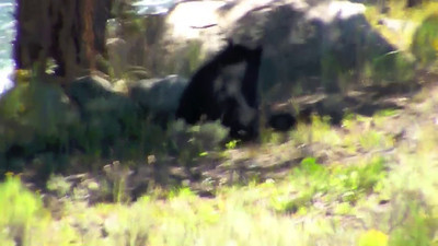 Black bear in Yellowstone 2010.