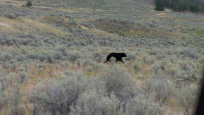 Black Bear in Yellowstone 2010