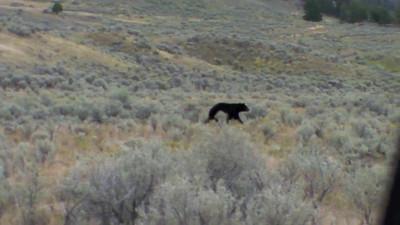Black Bear in Yellowstone 2010