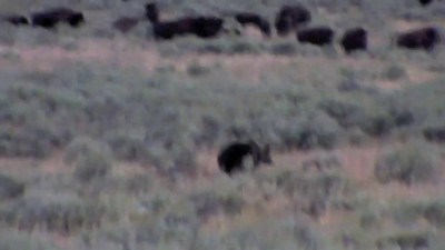 Grizzly trying to get a bison in Yellowstone 2010.