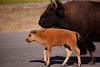 Mother Bison and Child, Old Faithful Village, Yellowstone National Park, Wyoming, USA