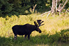 Moose, Spotted near Blacktail Ponds Overlook, Grand Teton National Park, Wyoming, USA