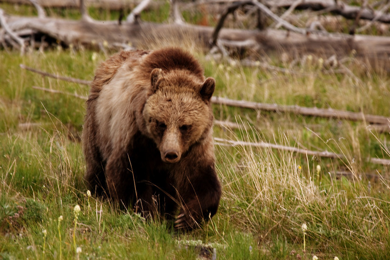 Grizzly Bear, Spotted near Mt. Washburn, on the eastern side of Yellowstone National Park, Wyoming, USA