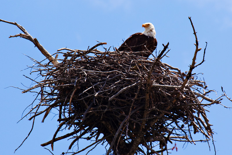 Bald Eagle in Her Nest, Spotted in the Madison River area, along the West Entrance Road to Yellowstone National Park, Montana/Wyoming, USA