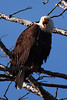 Bald Eagle, Spotted in the Madison River area, along the West Entrance Road to Yellowstone National Park, Montana/Wyoming, USA
