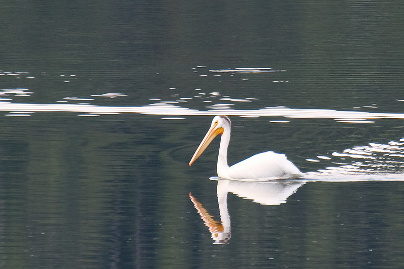 American White Pelican, Spotted at Oxbow Bend, Grand Teton National Park, Wyoming, USA