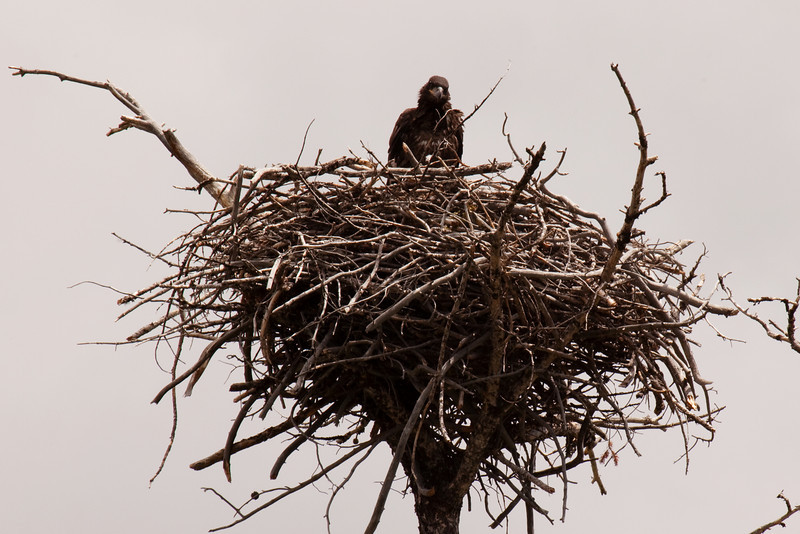Bald Eaglet, Spotted in the Madison River area, along the West Entrance Road to Yellowstone National Park, Montana/Wyoming, USA