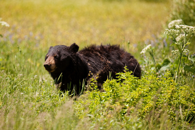 Adolescent Black Bear, Spotted near the Northeast Entrance, Yellowstone National Park, Wyoming, USA