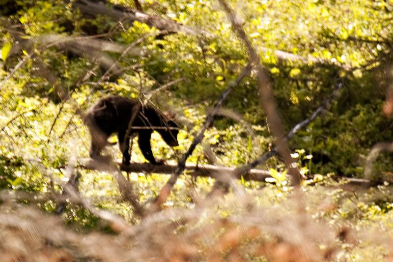 Bear Cub, Yellowstone National Park