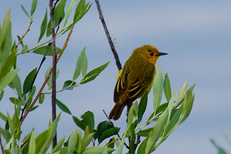 Yellow Warbler (Dendroica petechia), Grand Teton National Park