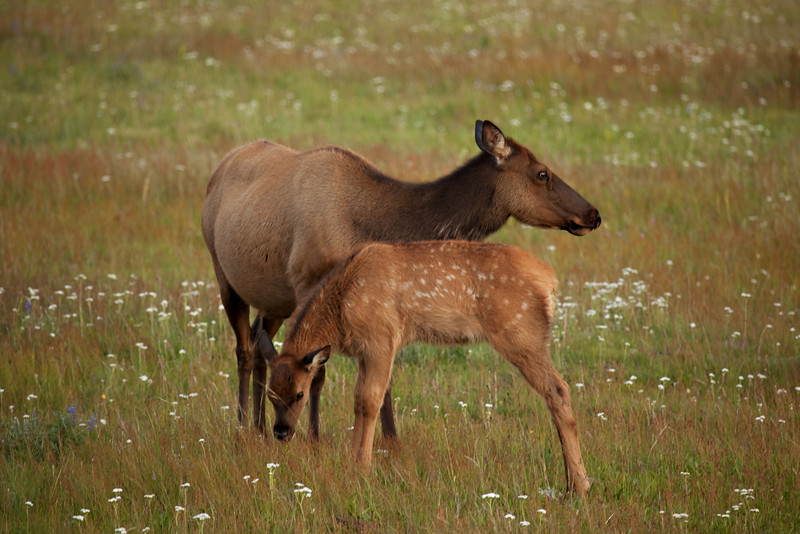 Elk Cow With Her Calf, Spotted along the banks of the Madison River, along the West Entrance Road to Yellowstone National Park, Montana/Wyoming, USA
