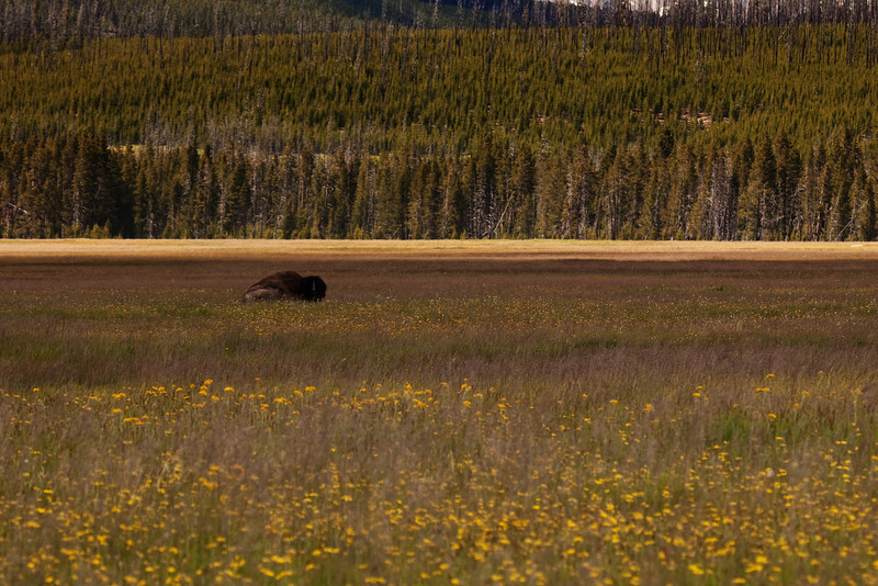 A lone bison in his natural environment. Spotted in Gibbon Meadows, between Madison and Norris Junctions, Yellowstone National Park, Wyoming, USA.